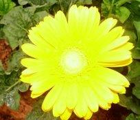 gerbera daisy yellow