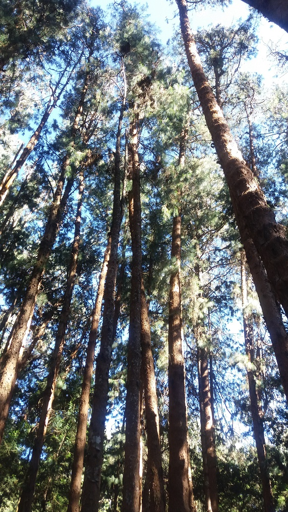 Kodai pine tree forest