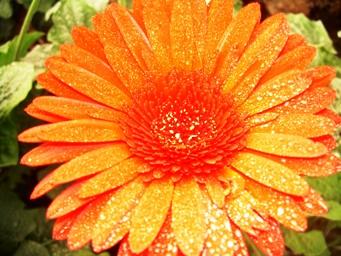 gerbera daisy orange