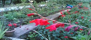 Kodai park flowers